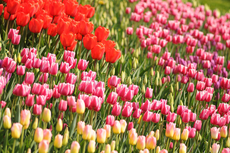 Varied colors of tulips on the flowerbed. Large buds of tulips.  stock photography