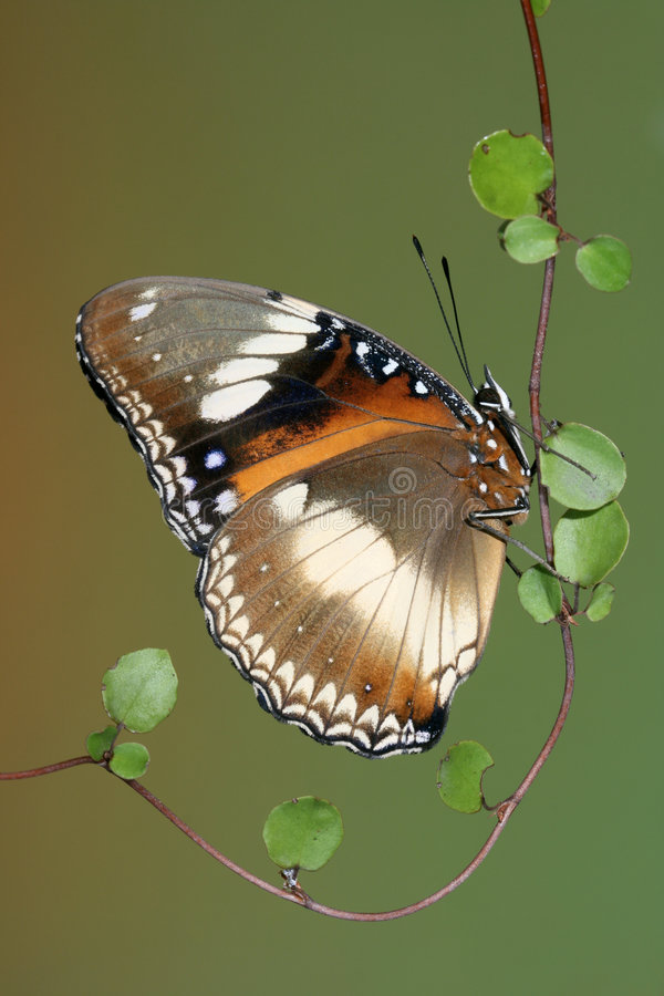 Varied Eggfly Butterfly. Varied Eggfly or Common Eggfly Butterfly stock photos