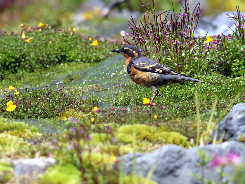 Varied Thrush in Alpine Meadow. A Varied Thrush in an alpine meadow at Mount Rainier National Park stock photography