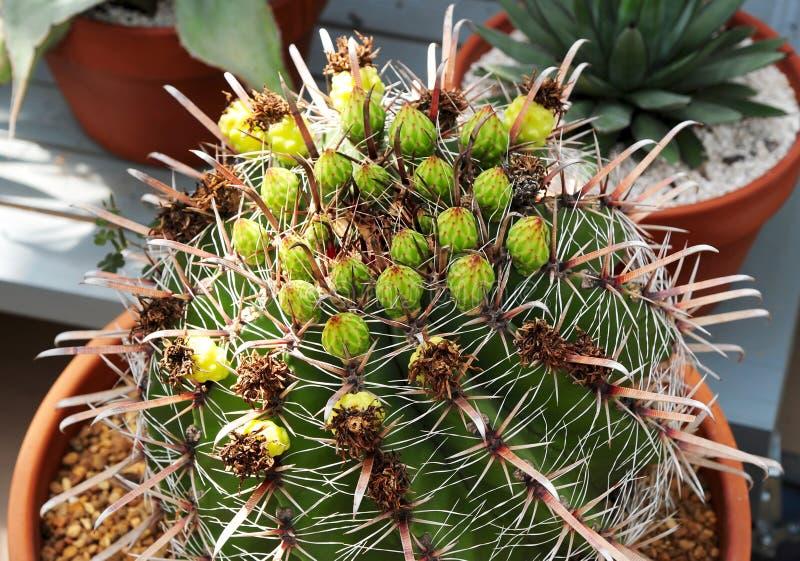 Variedad del grusonii de Echinocactus de planta del cactus fotos de archivo libres de regalías