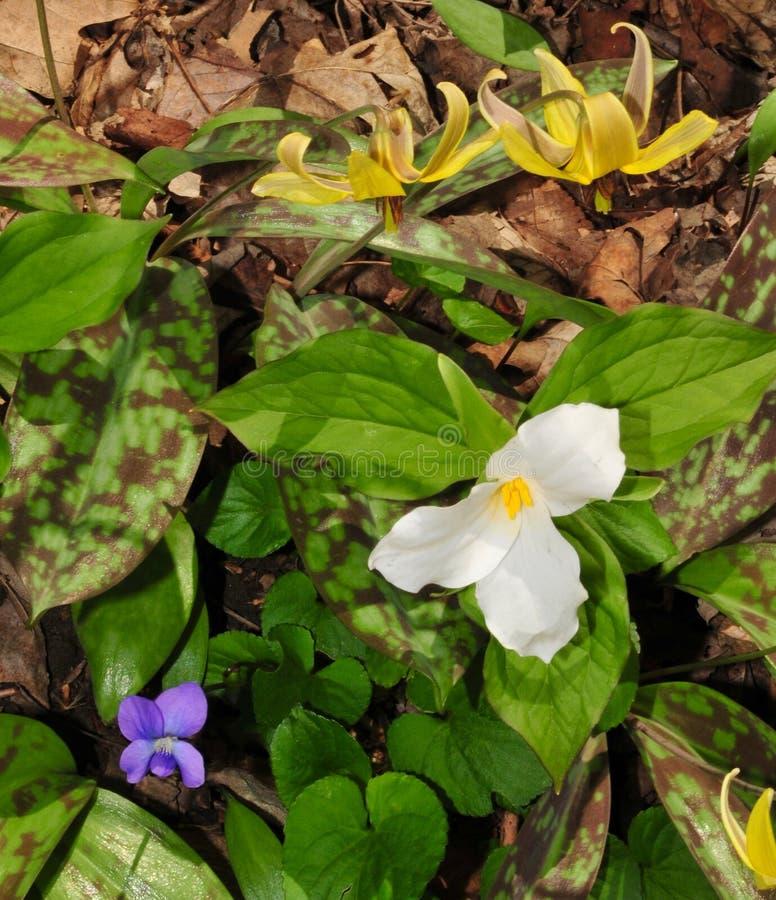 Variedade colorida dos wildflowers da mola que incluem o trillium branco, o lírio de truta violeta e amarelo azul foto de stock