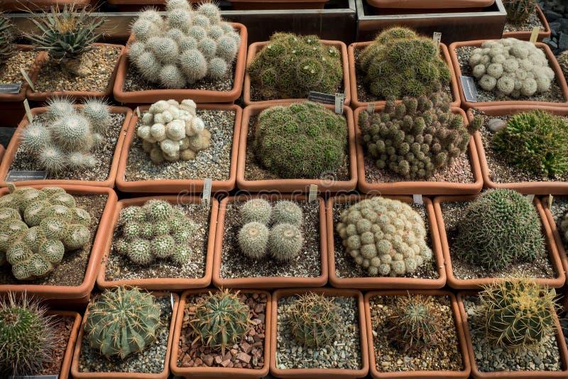 Variedade de cactos verdes e de plantas carnudas dos bens que crescem em uns potenciômetros imagens de stock royalty free