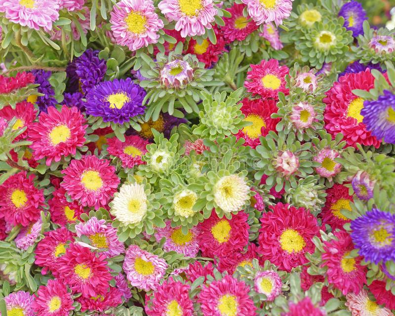 A variedade de crisântemo pequeno floresce, fundo colorido fotografia de stock royalty free