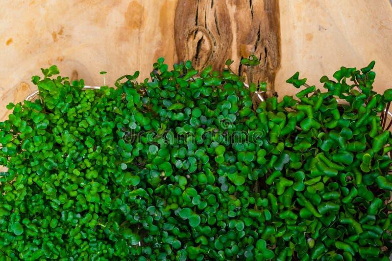 Variedade de micro verdes Rabanete crescente, salada do agrião, rúcula, brotos da mostarda O estilo de vida saudável, fica restau foto de stock royalty free