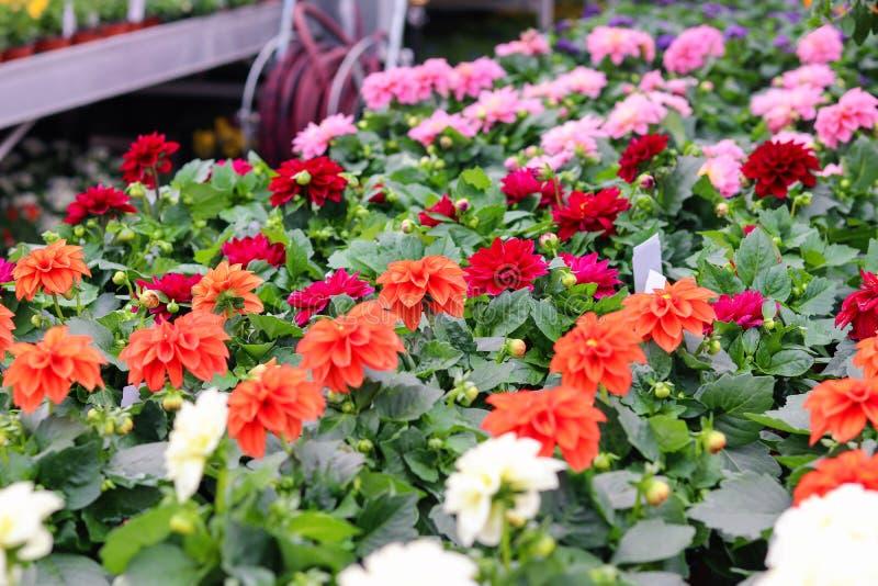 Variedade de vermelho colorido, do rosa e de plântulas alaranjadas das flores da dália em uns potenciômetros na loja do jardim Ve imagens de stock royalty free