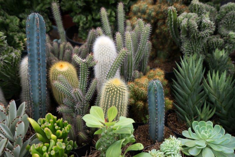 Variedade do cacto no mexco da expo da planta de candelaria do la fotos de stock royalty free