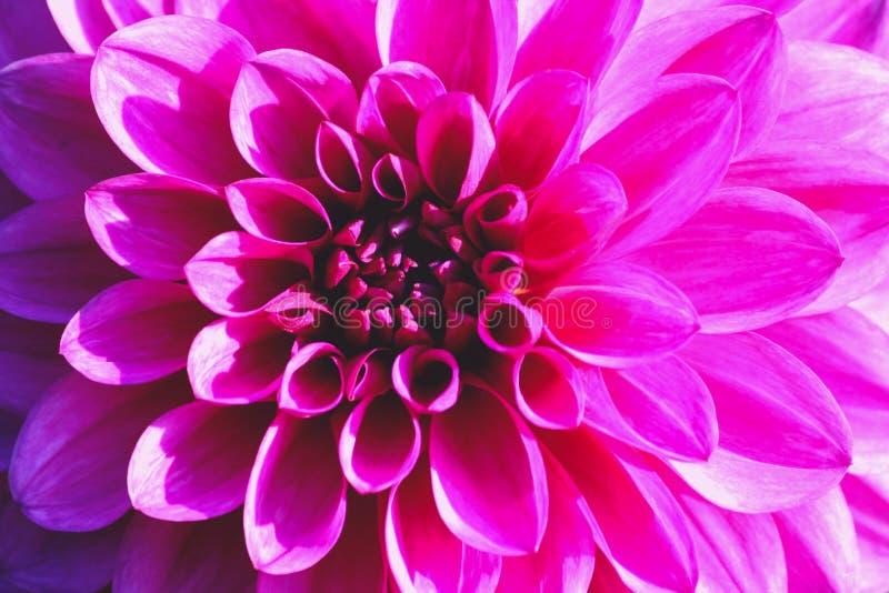 Variedade do raio de brian da dália, uma flor cor-de-rosa brilhante do close-up imagem de stock