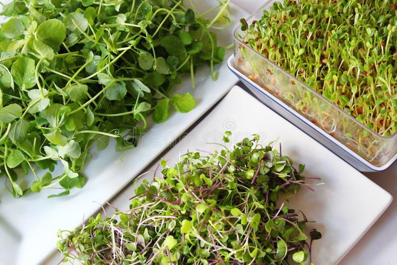 Variedade dos microgreens foto de stock