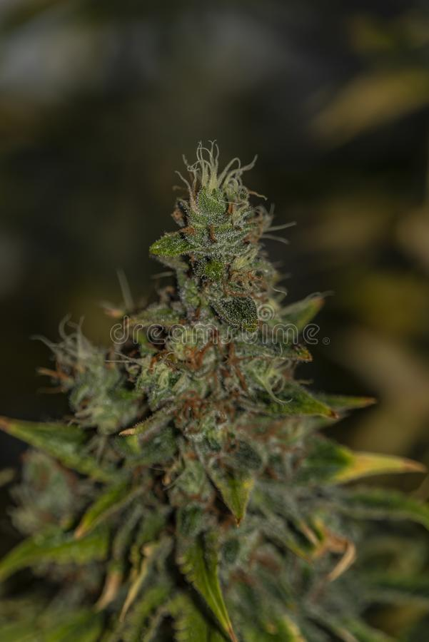 A variedade especial do kush afegão da cor de flor da marijuana envelheceu flores antes da colheita fotos de stock royalty free