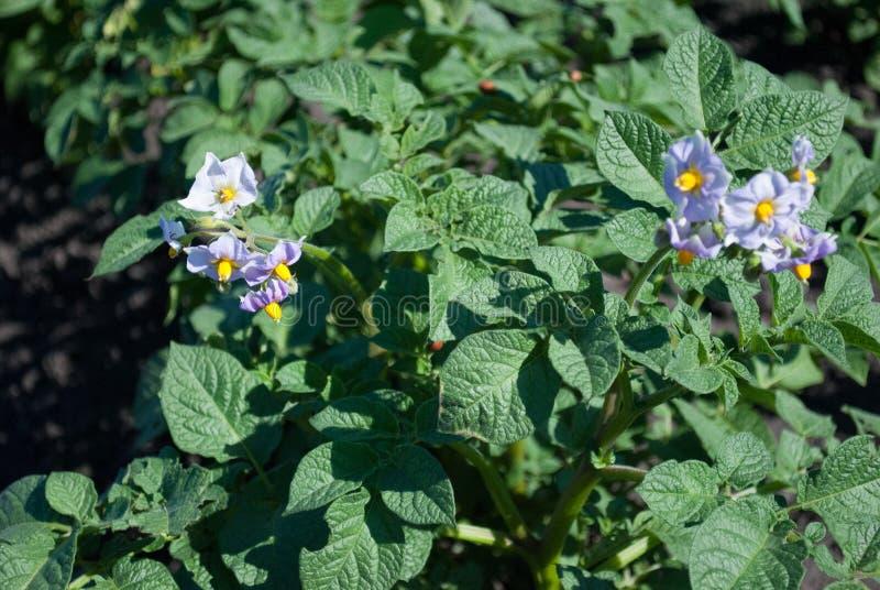 variedade rapidamente de amadurecimento das batatas, flores com flores roxas em um grande campo foto de stock