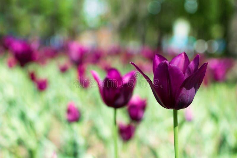 Variedade roxa das tulipas Tulipas violetas no jardim, arboreto com luz solar Bandeira horizontal da flor fotos de stock