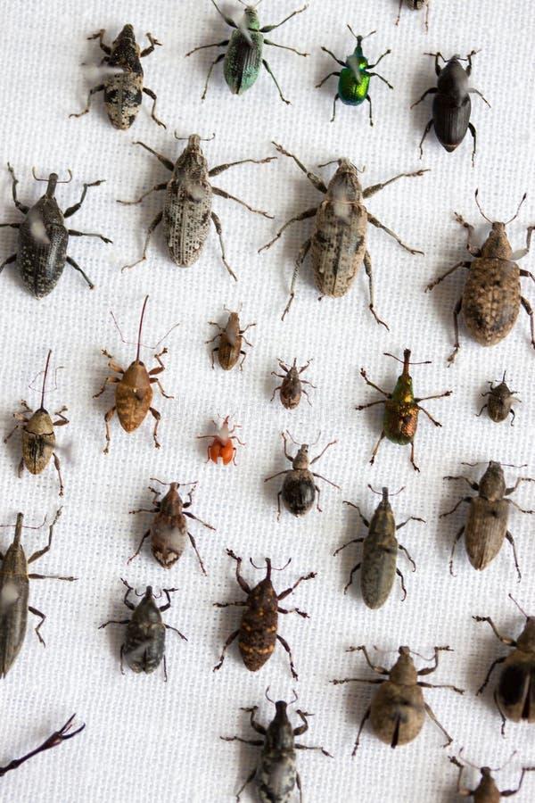 Variedades de besouros da broca fotografia de stock royalty free