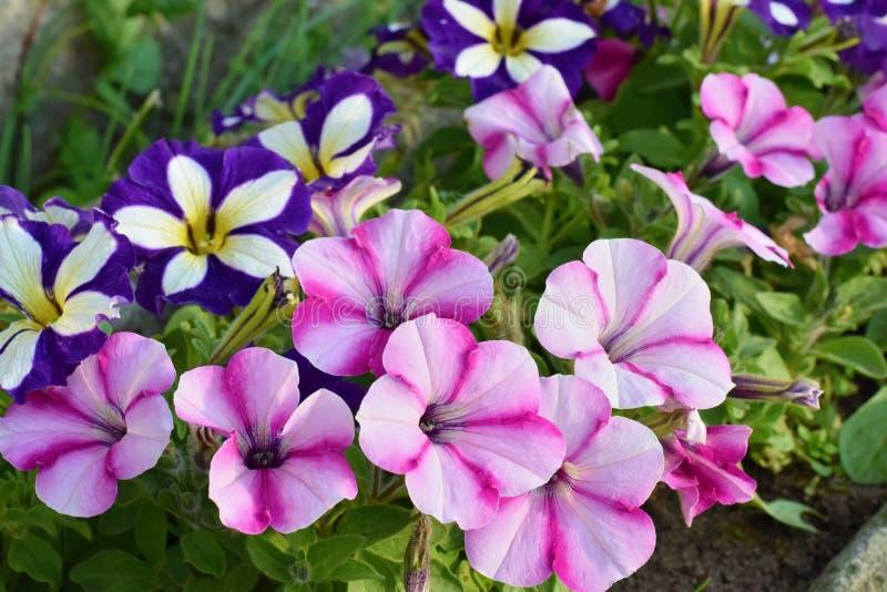 Variedades de flores de la petunia y del surfinia fotos de archivo libres de regalías