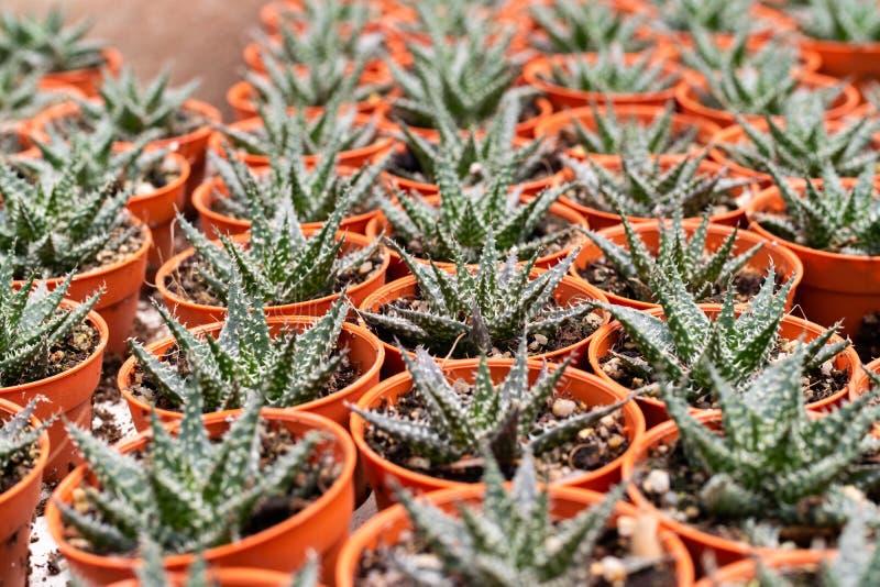 Variedades de planta del cactus en el pote Ciérrese encima de la visión Foco selectivo foto de archivo libre de regalías