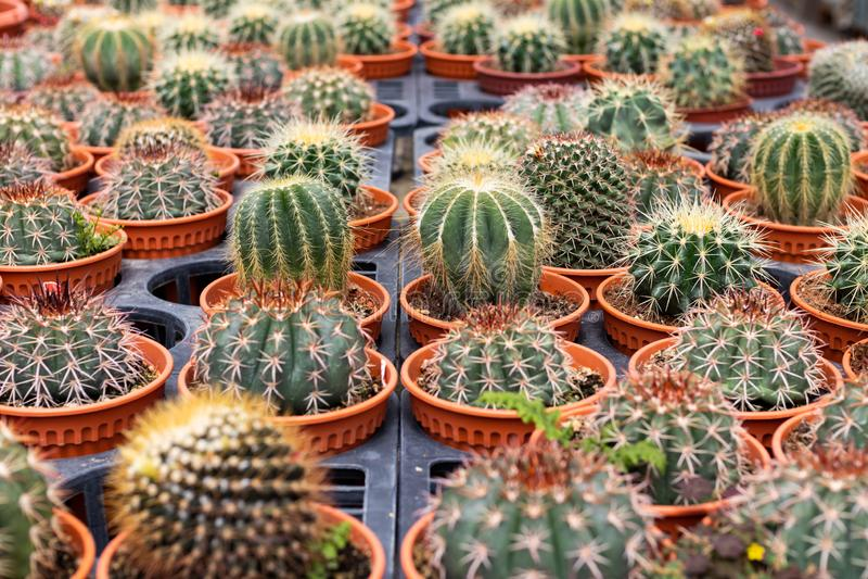 Variedades de planta do cacto no potenciômetro Feche acima da vista Foco seletivo fotos de stock