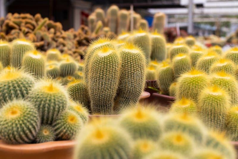 Variedades de planta do cacto no potenciômetro Feche acima da vista Foco seletivo imagem de stock royalty free