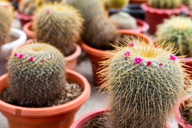 Variedades de planta do cacto no potenciômetro Feche acima da vista Foco seletivo imagens de stock