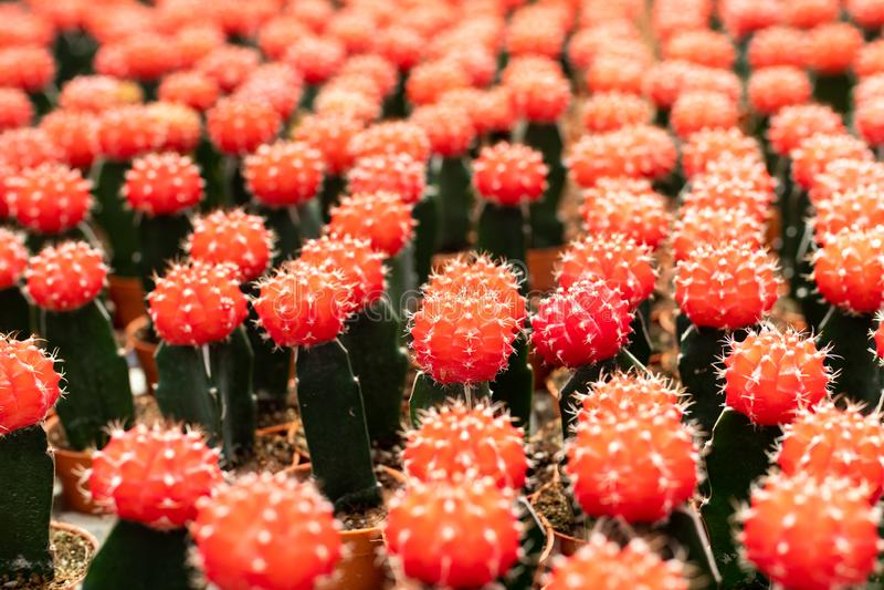 Variedades de planta do cacto no potenciômetro Feche acima da vista Foco seletivo foto de stock