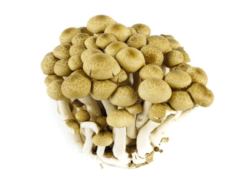Variedades do marrom do cogumelo de Shimeji isoladas em um fundo branco, no elemento de nutrientes saudáveis do alimento e no ing imagem de stock