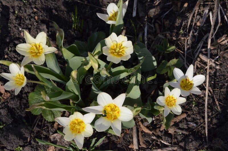 Variedades Kaufman, moda del tulipán de la moda La altura de la planta miniatura es hasta 20 cm, y la longitud de su imágenes de archivo libres de regalías