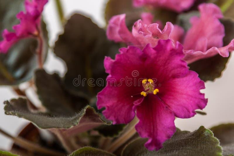 Variedades LE do Saintpaulia - Rubin Mughal E Lebetskaya com as flores vermelhas bonitas Close-up imagem de stock