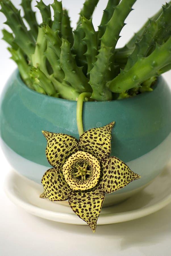 Variegata стапелияи желтого цвета цветка стоковое фото rf