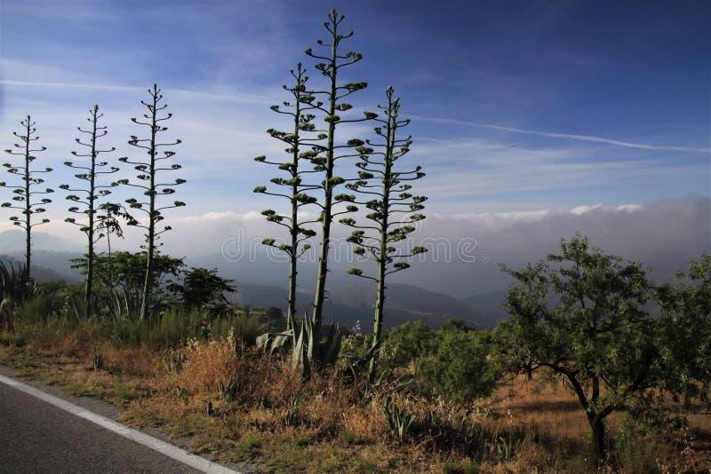Variegata americana fleurissant d'agave contre le ciel bleu et le bas tapis accrochant de nuage dans une vallée le long de route  photo stock