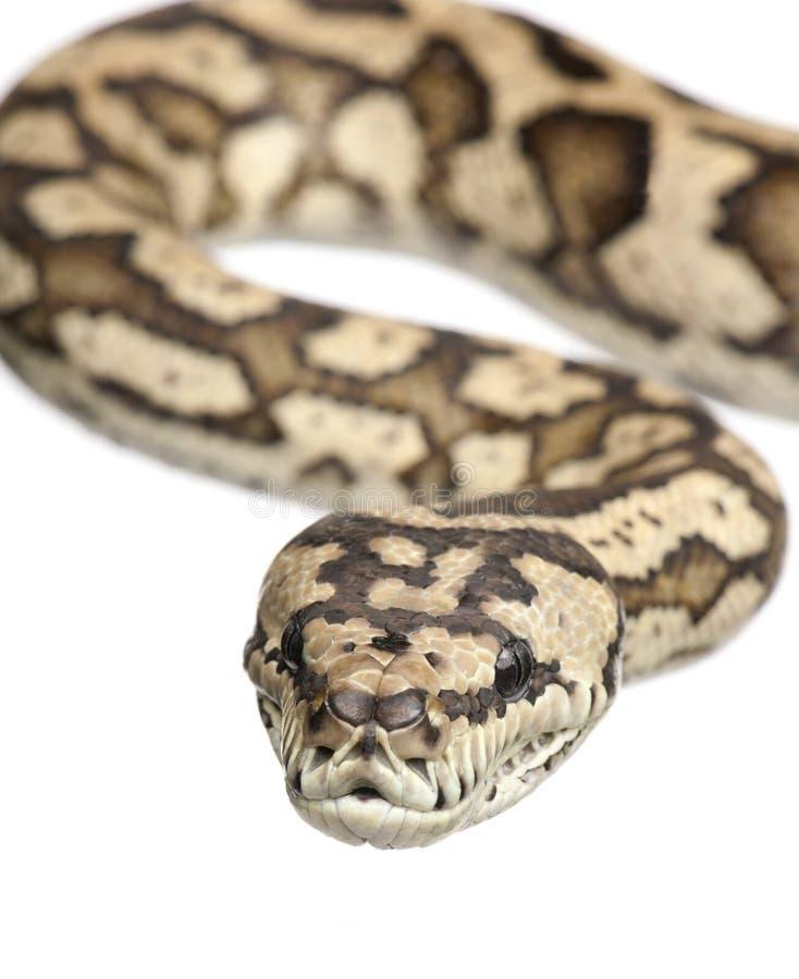 variegata de spilota de python de Morelia de tapis photographie stock libre de droits