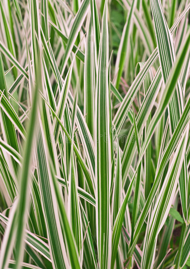 Variegata do Carex, grama imagem de stock royalty free
