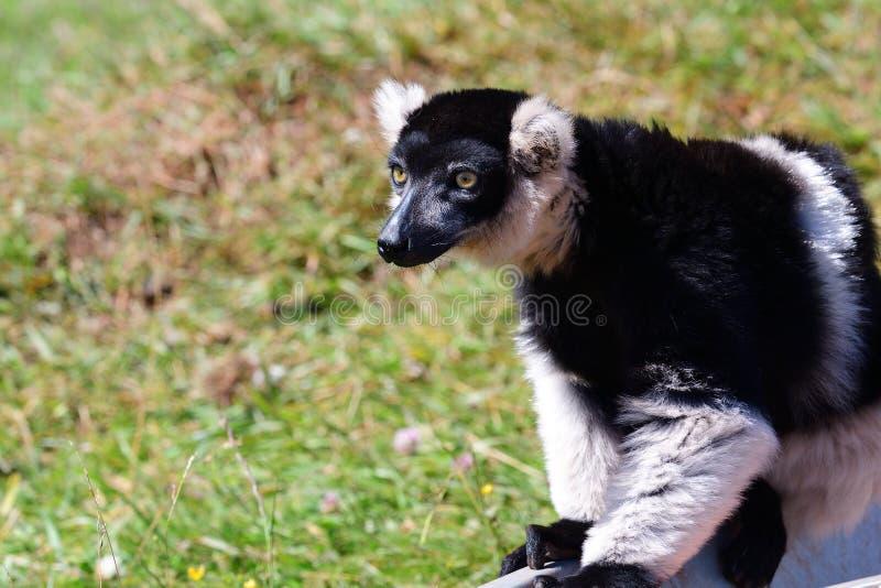 Variegata ruffed noir et blanc de varieca de lémur photographie stock libre de droits