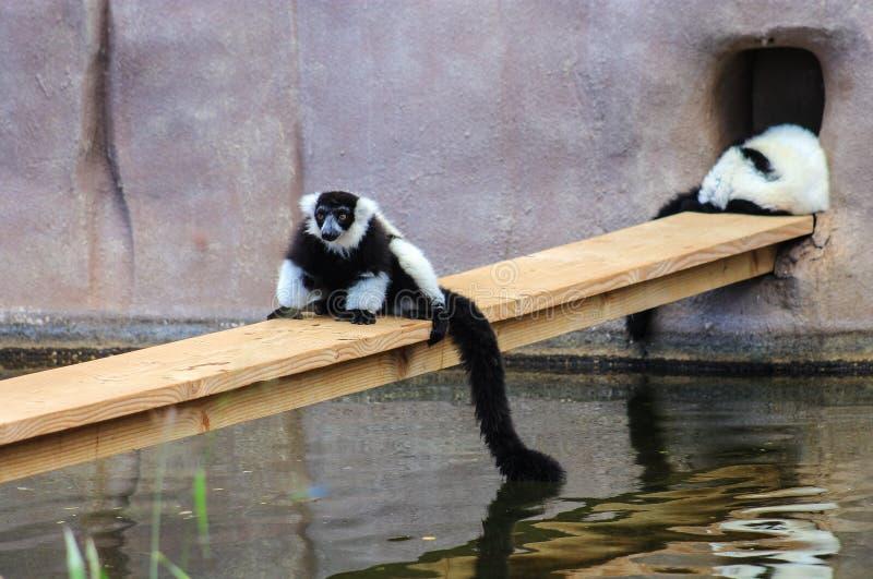 Variegata superado blanco y negro de Varecia del lémur foto de archivo libre de regalías