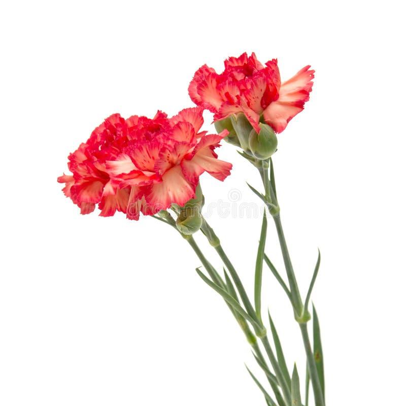 variegated гвоздика стоковые фотографии rf