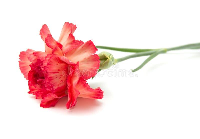 variegated гвоздика стоковое фото rf
