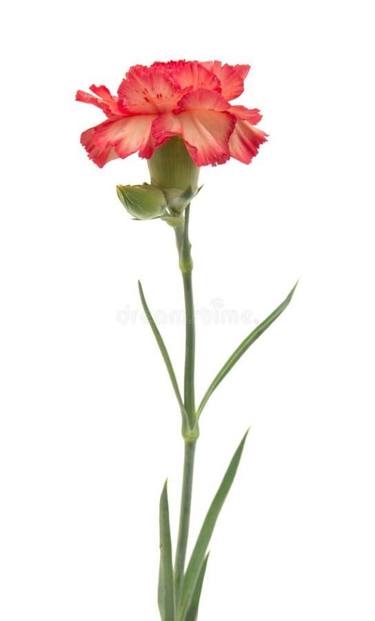 variegated гвоздика стоковое изображение rf