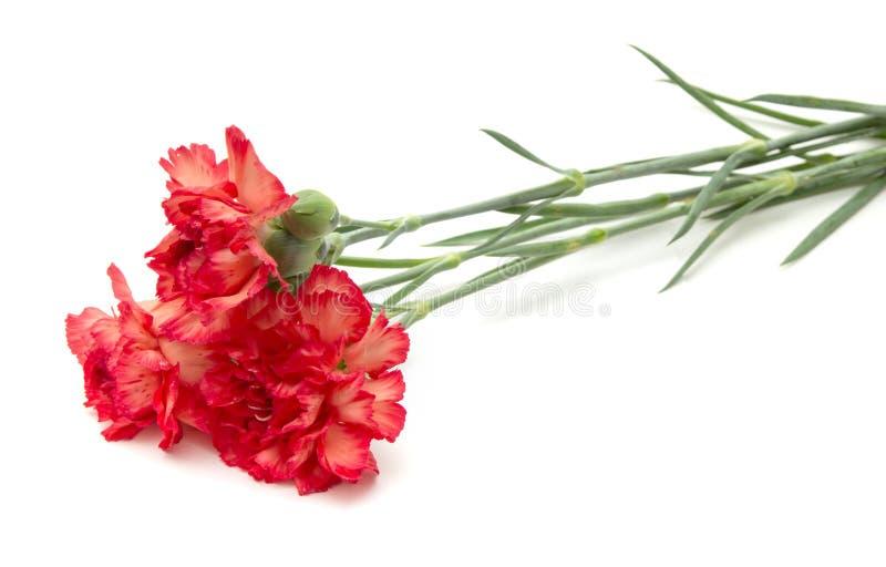 variegated гвоздика стоковое изображение