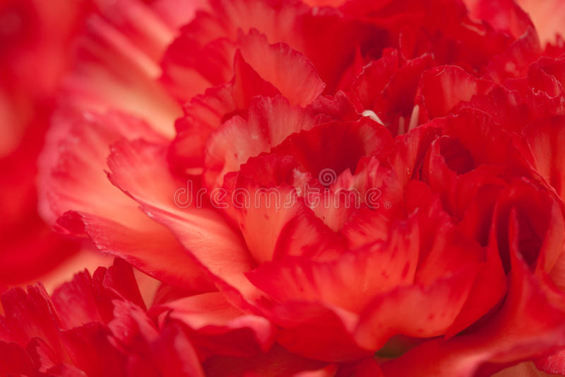 variegated гвоздика стоковые фото