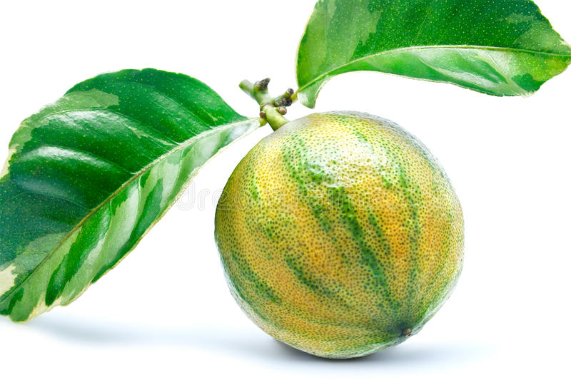 variegated лимон стоковое фото rf