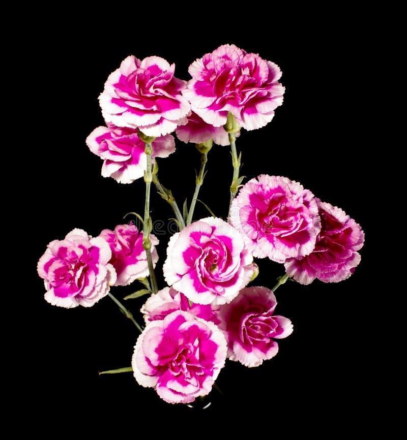 Variegated розовая белая гвоздика стоковые фотографии rf