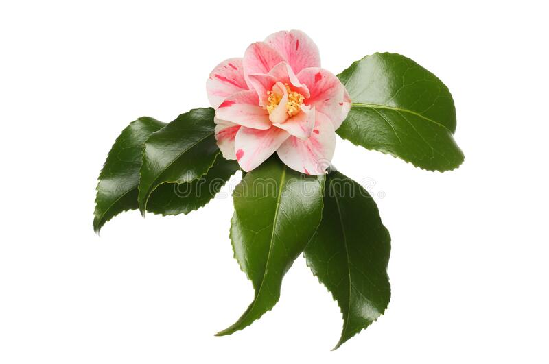 Variegated camellia flower stock photos