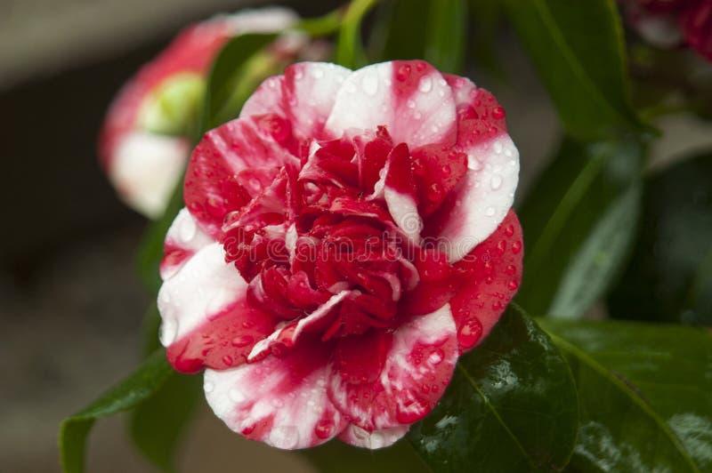 Variegated camellia stock photos