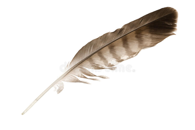 Variegated eagle feather royalty free stock photos