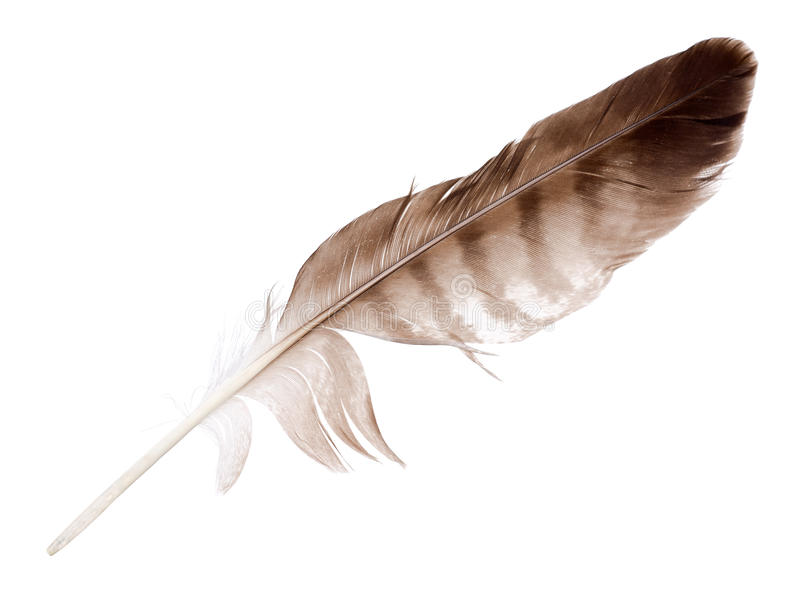 Variegated eagle feather isolated on white stock images