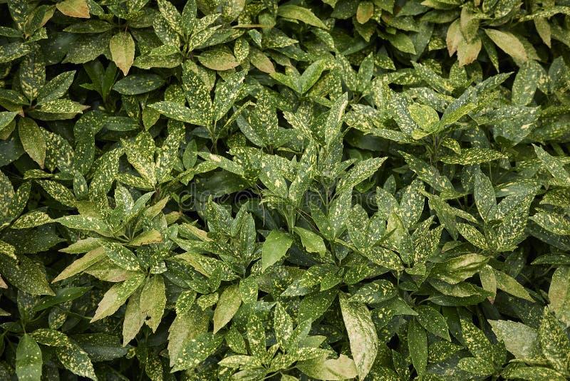 Aucuba japonica foliage. Variegated foliage close up of Aucuba japonica shrub stock photography