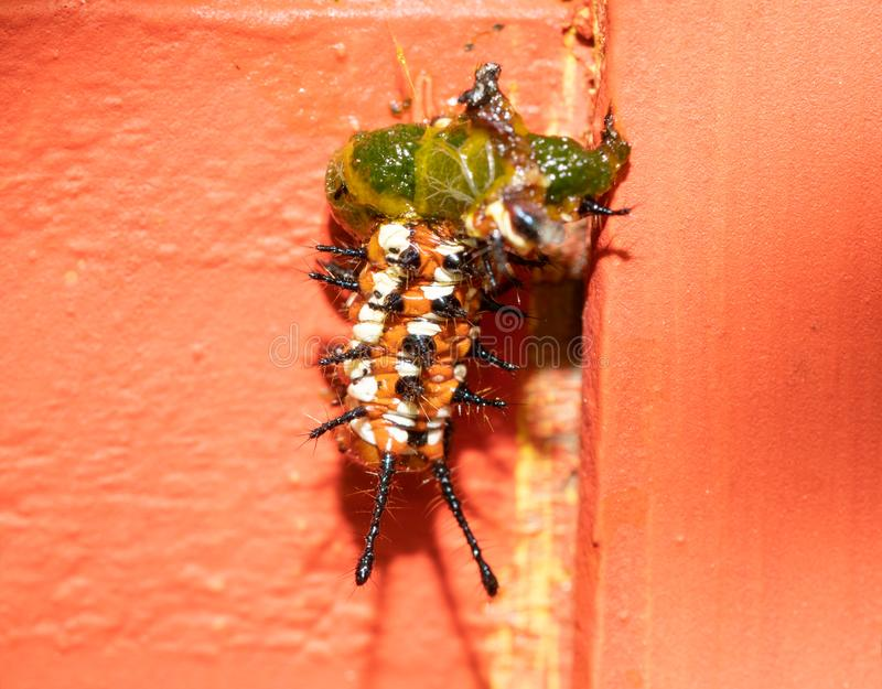 Variegated Fritillary butterfly caterpillar half eaten by a bird or other predator. Hanging onto an orange trellis; concept of being part of circle of life royalty free stock photo
