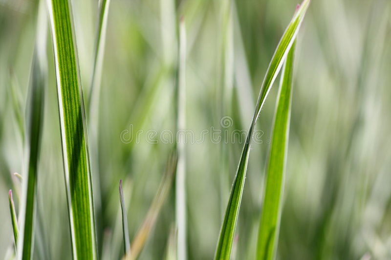 Variegated grass stock images