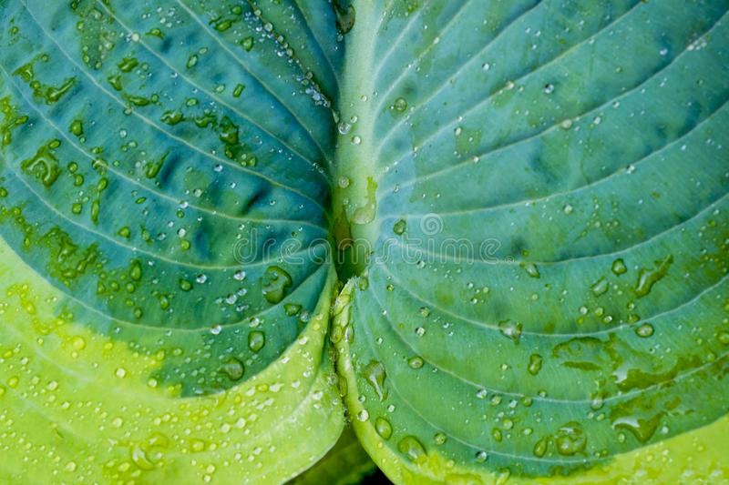 Variegated green leaves of hosts as background. Close up Selective focus.  royalty free stock photos