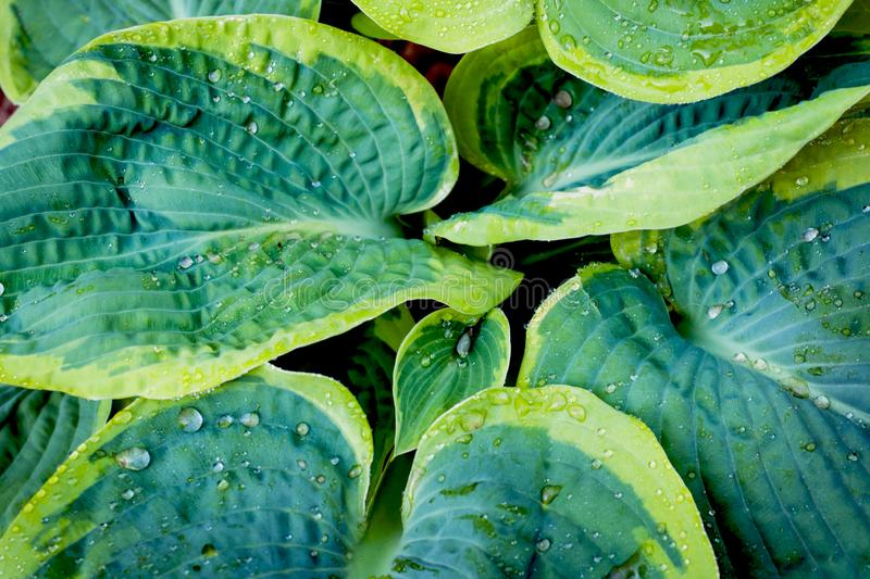 Variegated green leaves of hosts as background. Close up Selective focus.  stock photography
