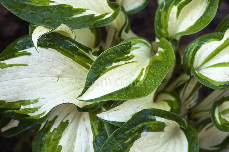 Variegated green leaves of hosts with white stripes as background.  royalty free stock photo