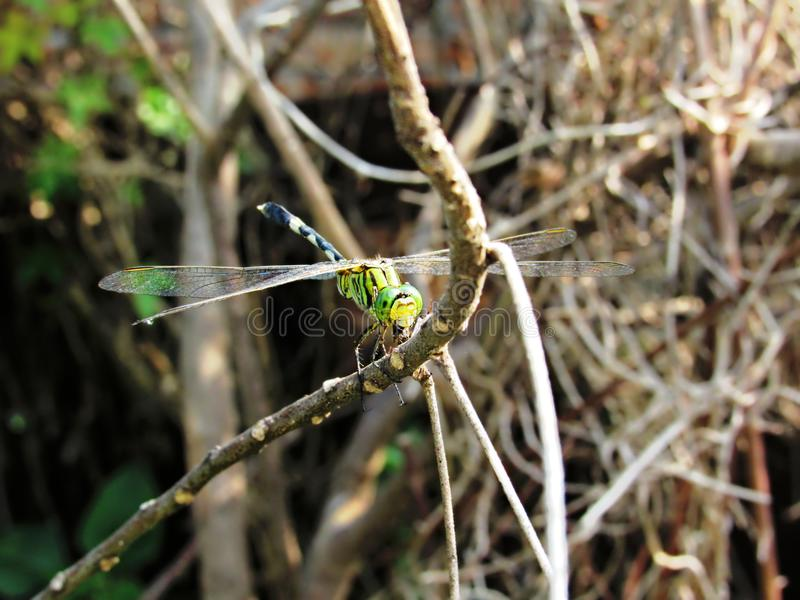 Variegated Green Skimmer Feeding On A Prey. Variegated Green Skimmer, Orthetrum sabina, perched on a dead branch, munching on a prey. This dragonfly is also royalty free stock photos