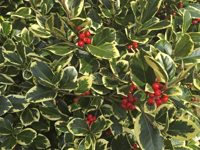 Variegated Holly stock photos